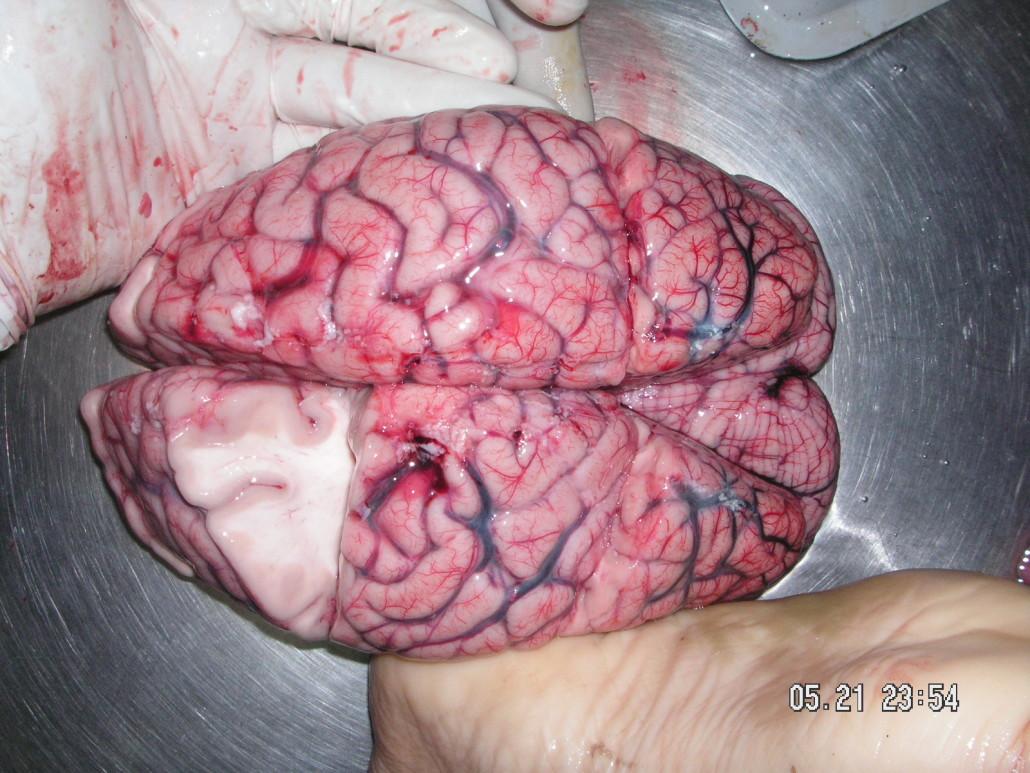 fresh brain sliced open to show gray matter and white matter