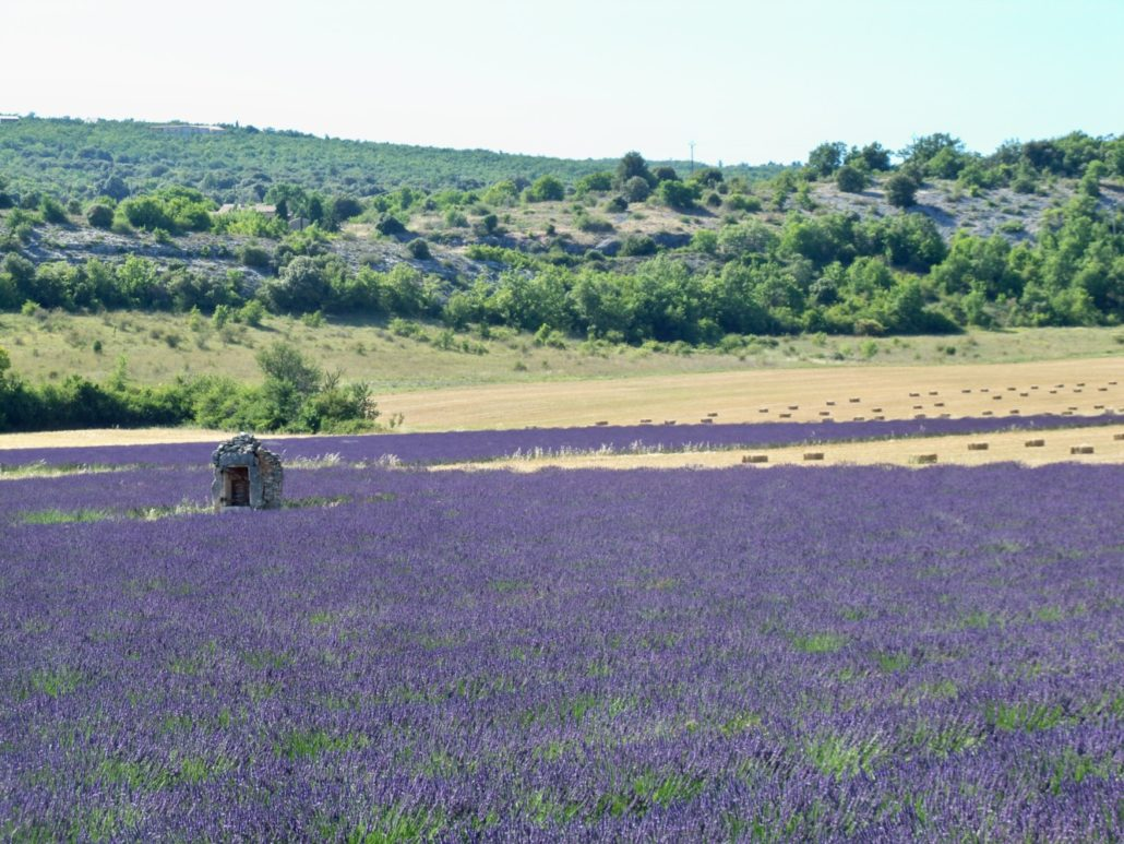 Lavender Fields in France (Photo Credit: Wikimedia Commons, Marianne Casamance, 2011)